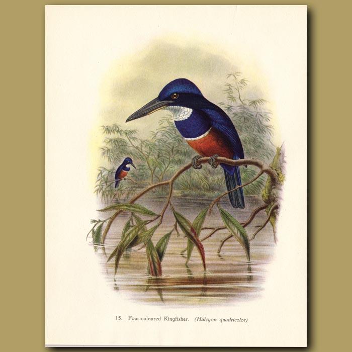 Vintage print. Four-coloured Kingfisher