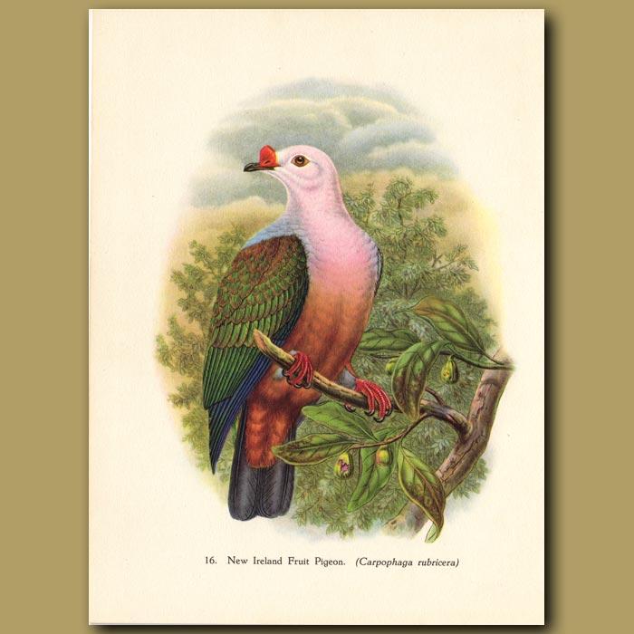 Vintage print. New Ireland Fruit Pigeon