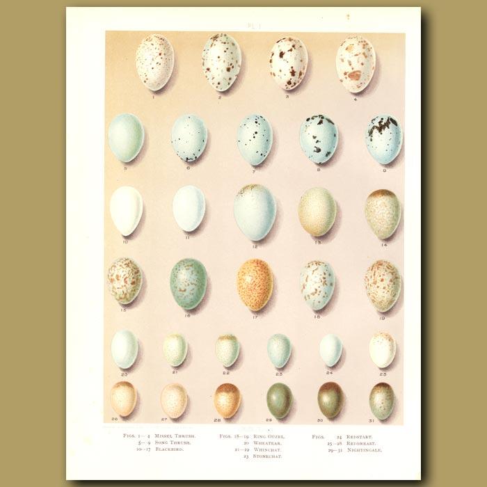 Antique print. Bird eggs -  Missel Thrush,Blackbird, Wheatear,Stonechat, Nightingale