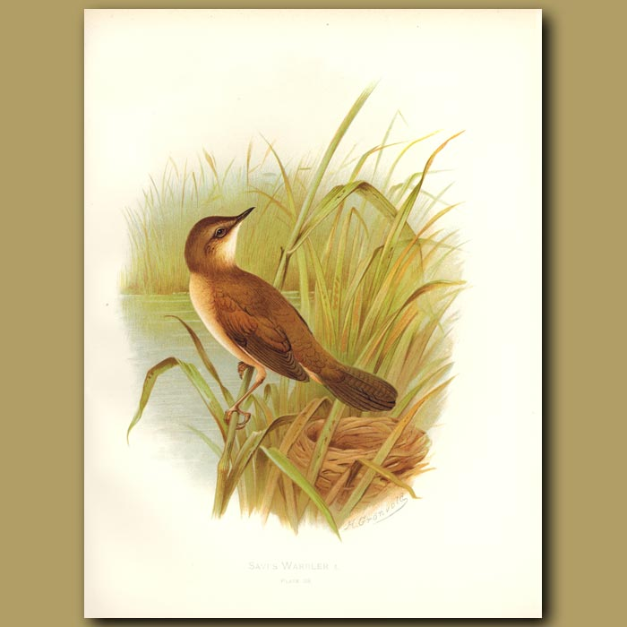 Antique print. Savi's Warbler