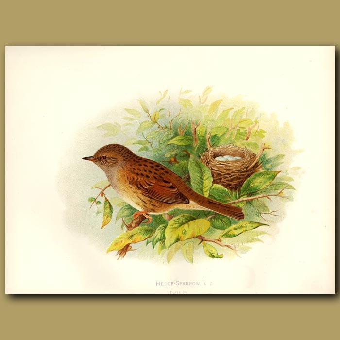 Antique print. Hedge Sparrow