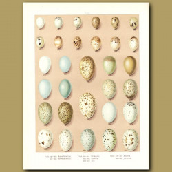 Bird Eggs - Snow Bunting, Starling, Chough, Jay,Magpie