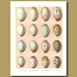 Bird Eggs - Raven, Crow, Rook