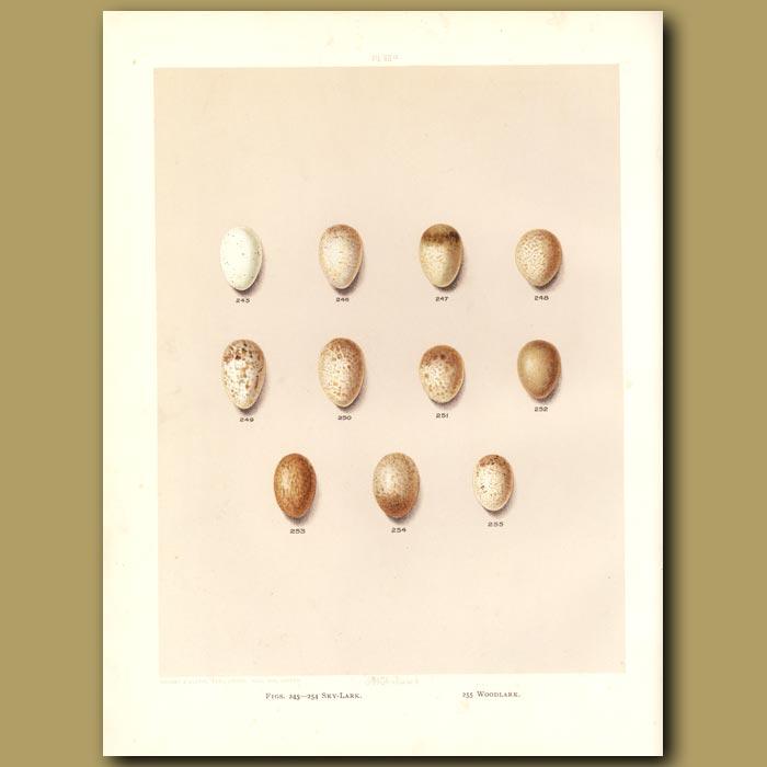 Antique print. Bird eggs - Sky-lark and Woodlark