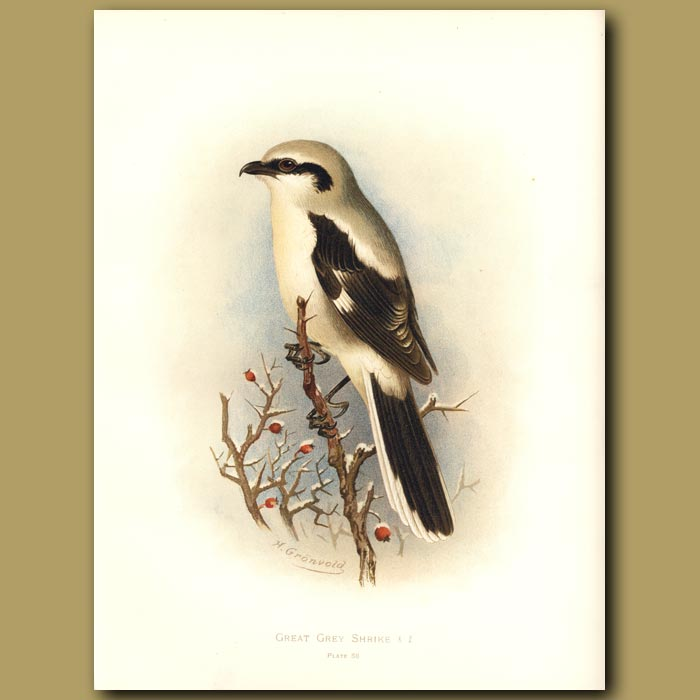 Antique print. Great Grey Shrike