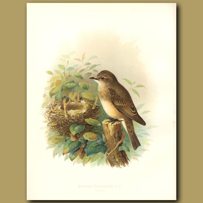 Antique print. Spotted Flycatcher