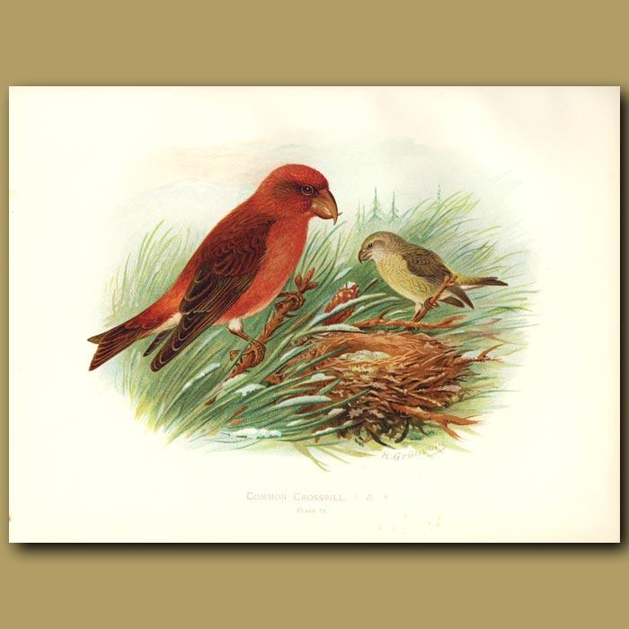 Antique print. Common Crossbill