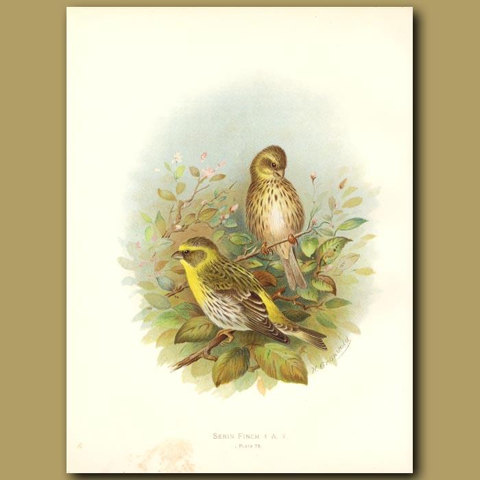 Antique print. Serin Finch