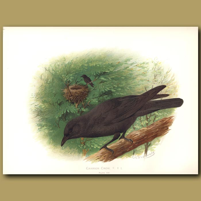 Antique print. Carrion Crow