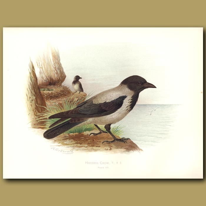 Antique print. Hooded Crow