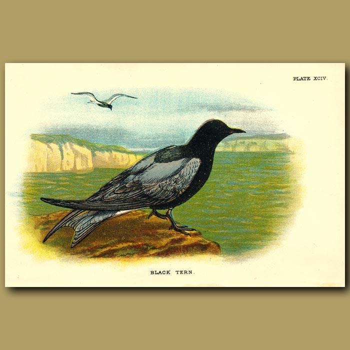 Antique print. Black Tern
