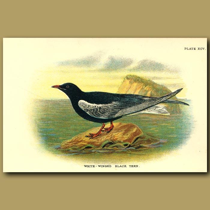 Antique print. White-winged Black Tern