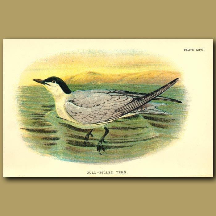 Antique print. Gull-billed Tern