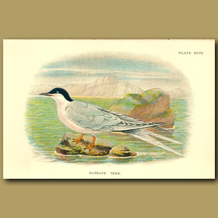 Antique print. Roseate Tern