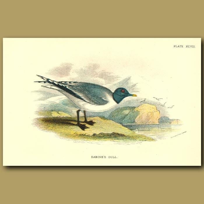 Antique print. Sabine's Gull