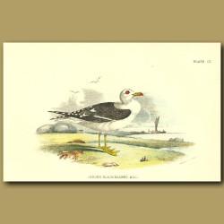 Lesser Black-Headed Gull