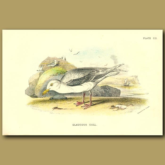 Antique print. Glaucous Gull