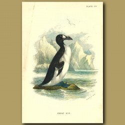 Great Auk (Extinct)