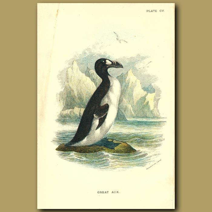 Antique print. Great Auk (Extinct)