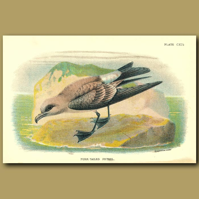 Antique print. Fork-tailed Petrel
