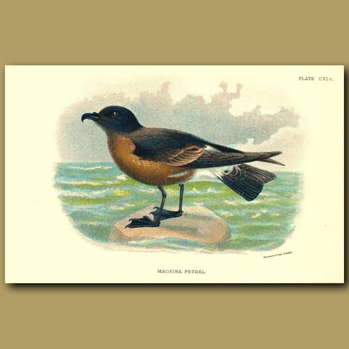 Antique print. Madeira Petrel