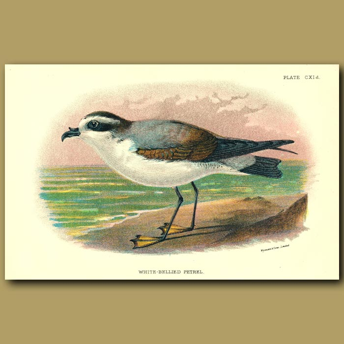 Antique print. White-bellied Petrel