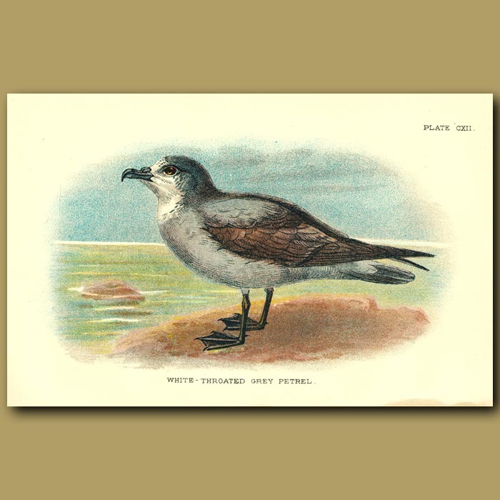 Antique print. White-throated Grey Petrel