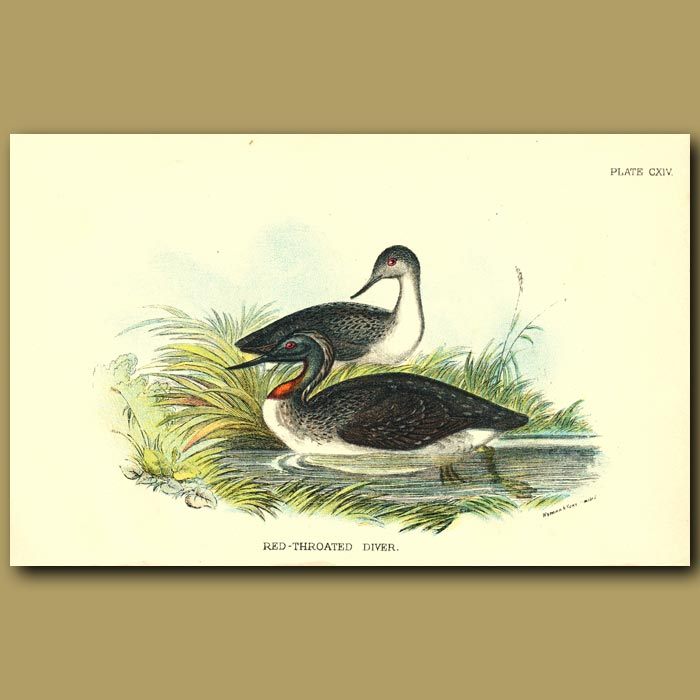 Antique print. Red-throated Diver