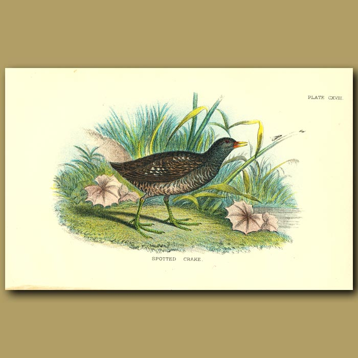 Antique print. Spotted Crake
