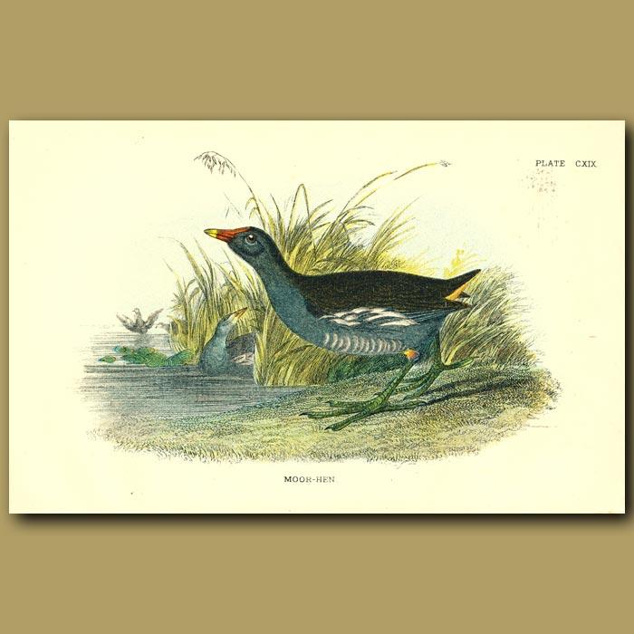 Antique print. Moor Hen