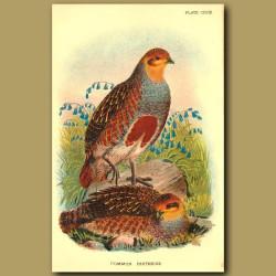 Common Partridge