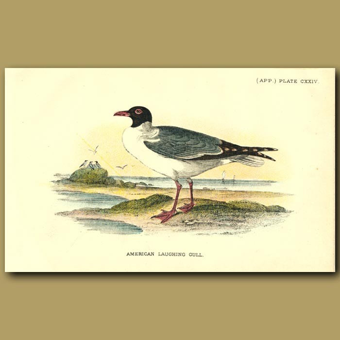 Antique print. American Laughing Gull