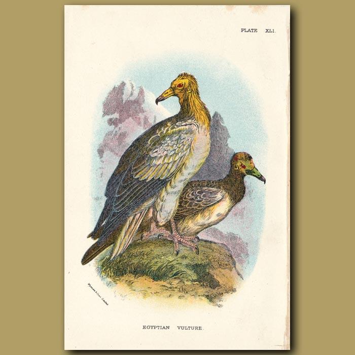 Antique print. Egyptian Vulture