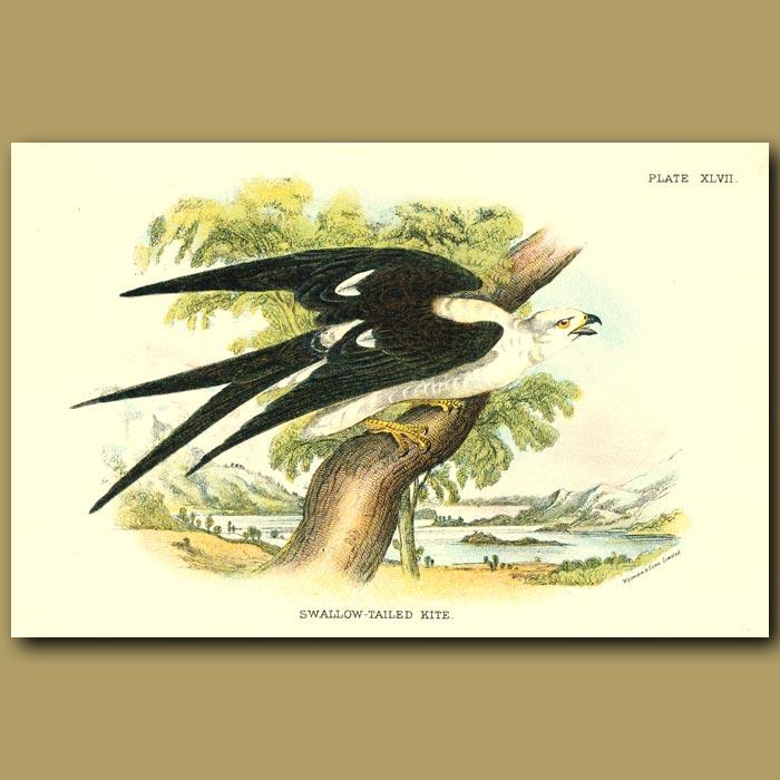 Antique print. Swallow-tailed Kite