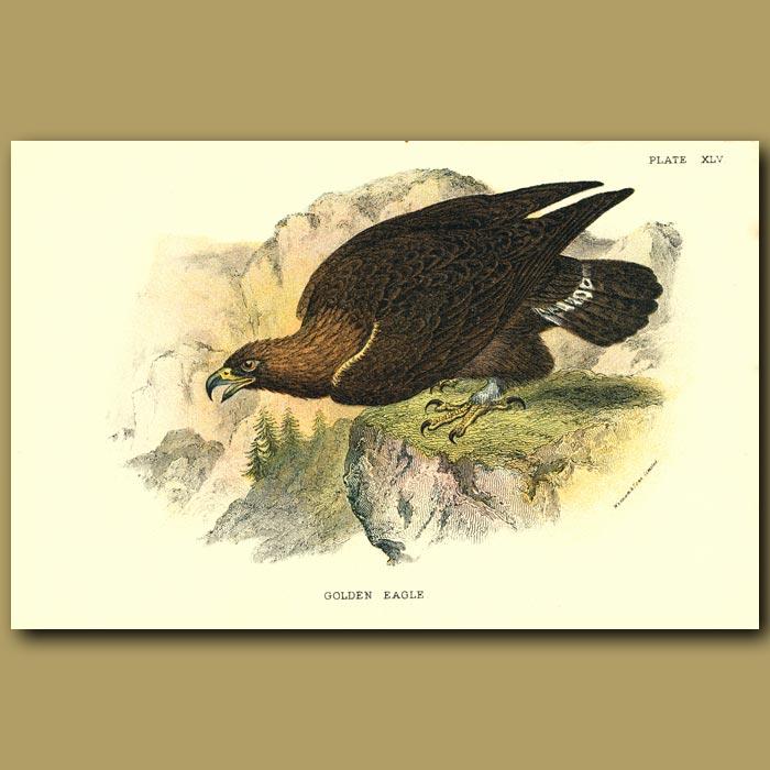 Antique print. Golden Eagle