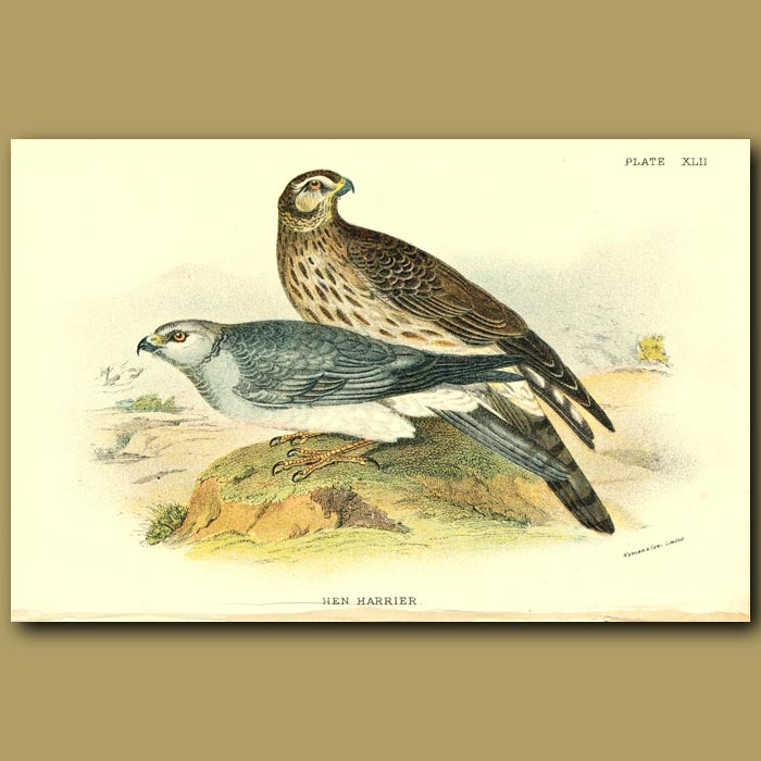 Antique print. Hen Harrier