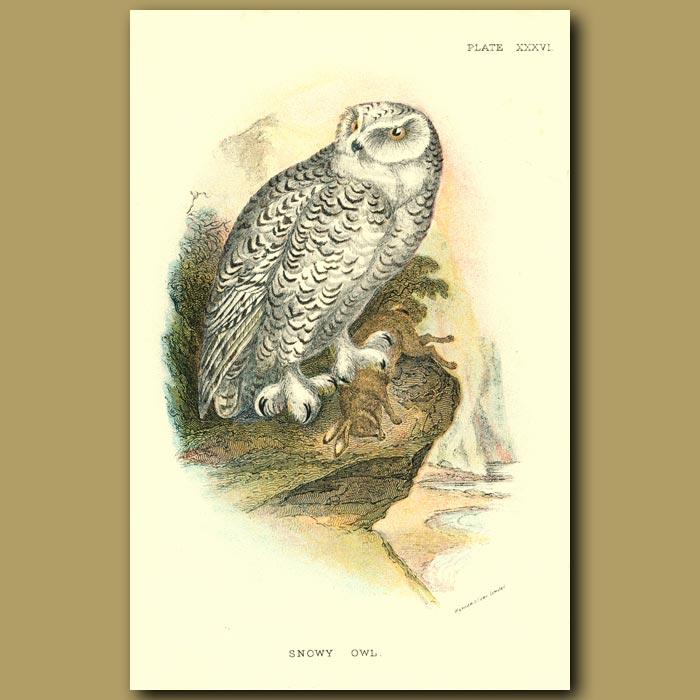 Antique print. Snowy Owl