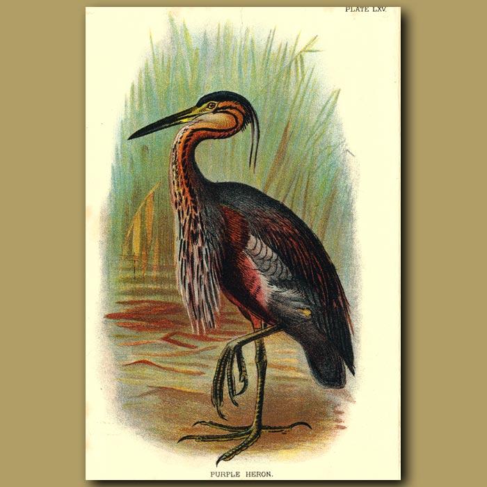 Antique print. Purple Heron