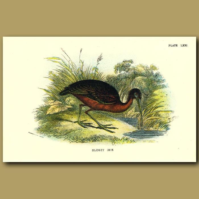 Antique print. Glossy Ibis