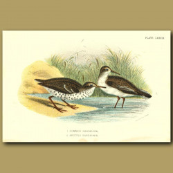 Common And Spotted Sandpiper