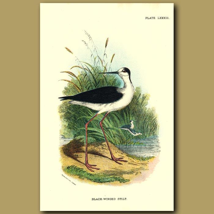 Antique print. Black-winged Stilt