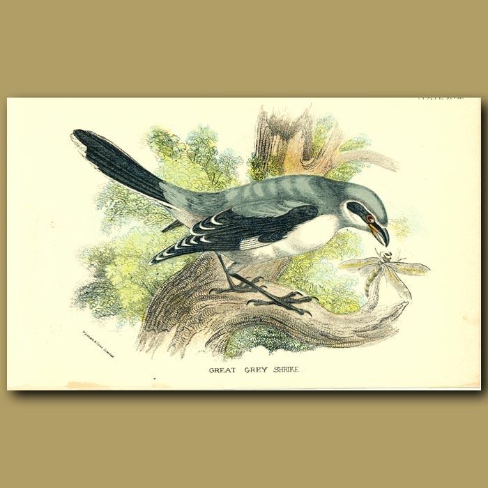 Antique print. Grey Grey Shrike