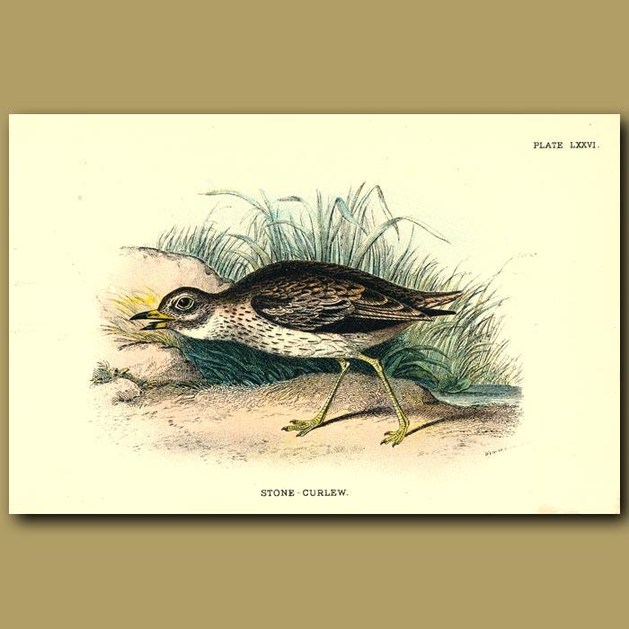 Antique print. Stone-Curlew
