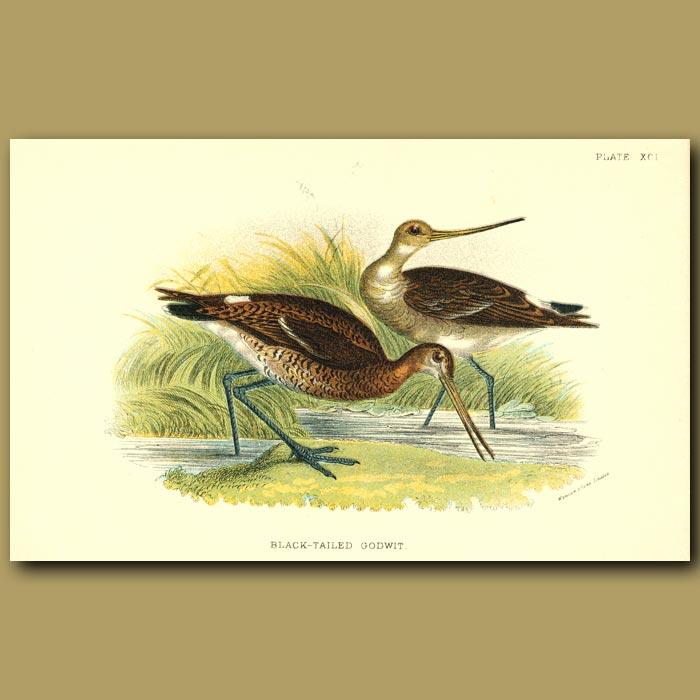 Antique print. Black-tailed Godwit