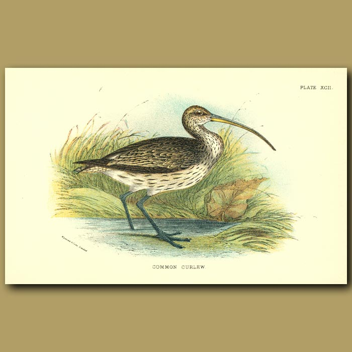 Antique print. Common Curlew