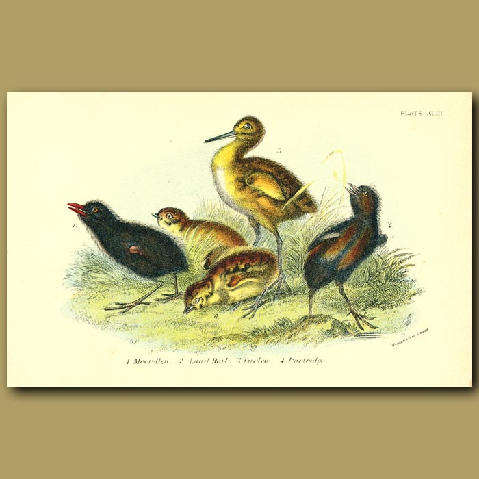Antique print. Moor-hen, Landrail, Curlew and Partridge chicks