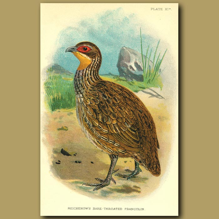 Antique print. Reichenow's Bare-throated Francolin