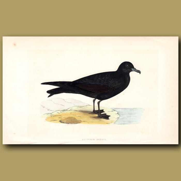 Antique print. Bulwer's Petrel