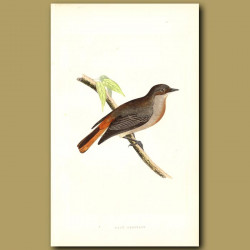 Grey Redstart