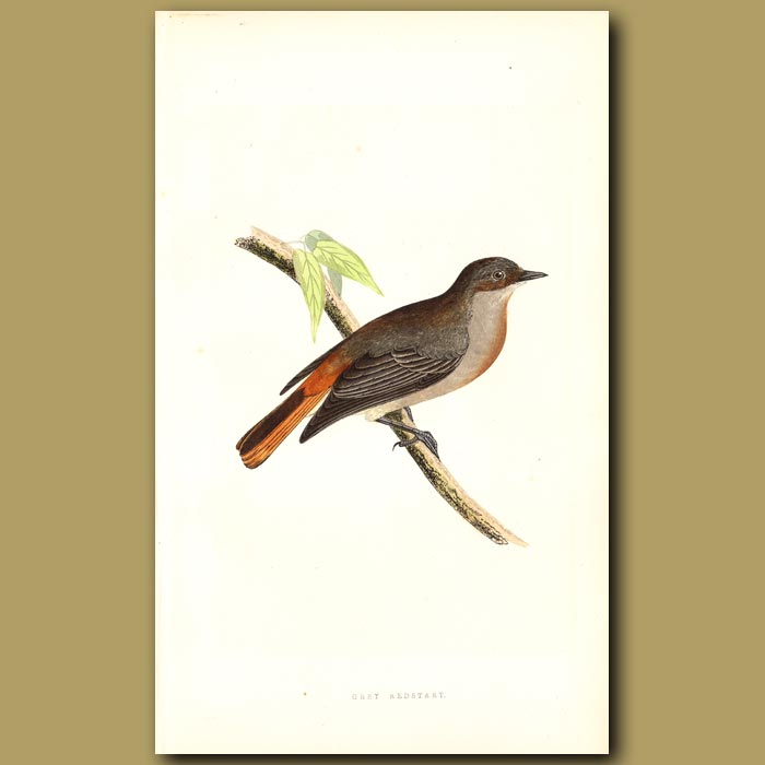 Antique print. Grey Redstart